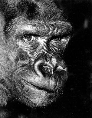 Gorilla Babar, 1968 - Foto Pim Westerweel